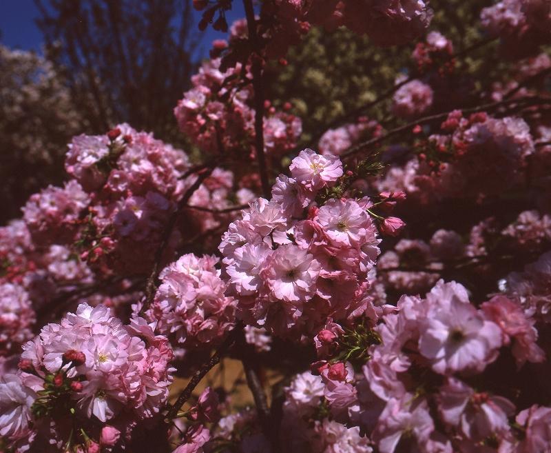 造幣局の桜2
