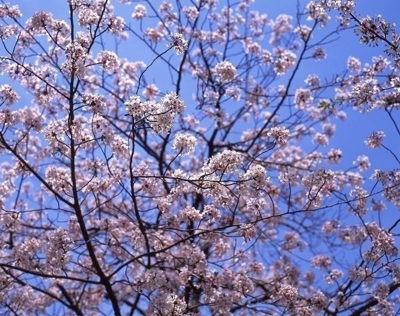 桜ノ宮駅 近辺の桜