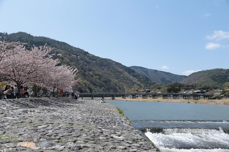 渡月橋と桜
