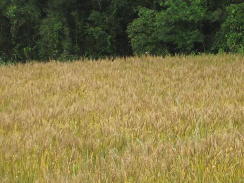 小麦の実り