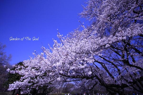 419sakura1.jpg