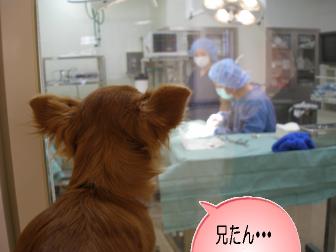 去勢手術1