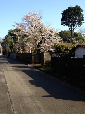 ご近所の桜1