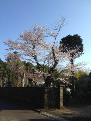 ご近所の桜2