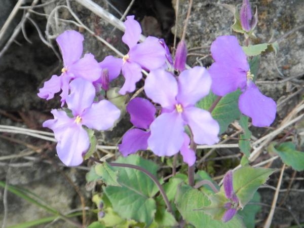散歩紫花菜 014