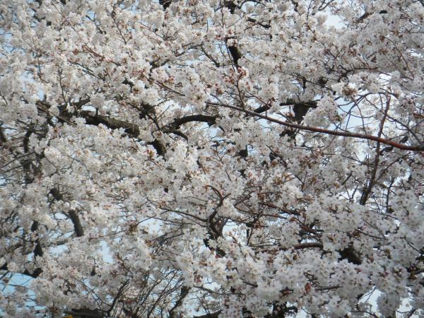 桜 015