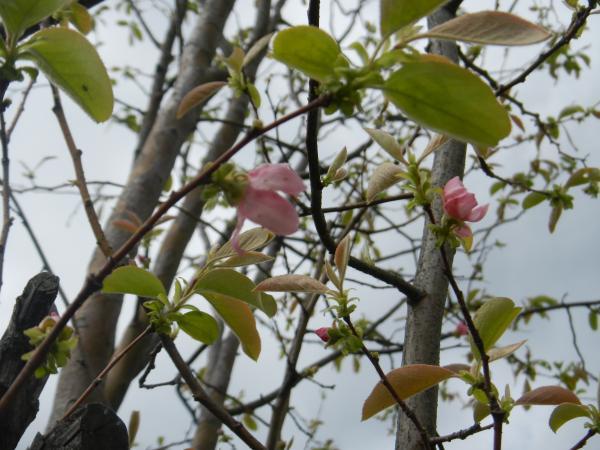 4月の花 022