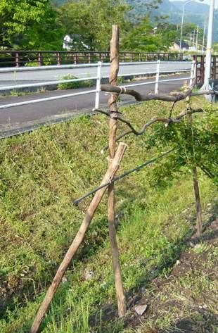 稲木の足でツルバラ柵