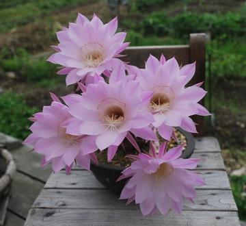 サボテン5個の花