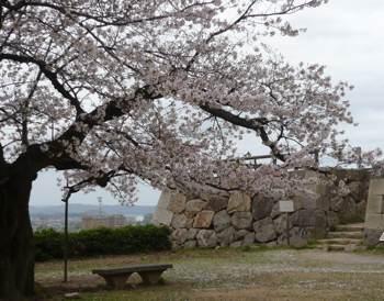 お城桜 石垣