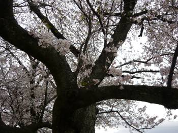 お城桜下から
