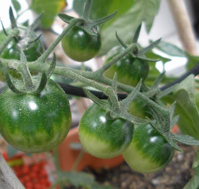 ミニトマトまだ青い