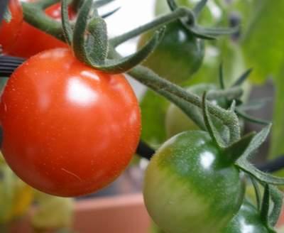 ミニトマト熟してきた
