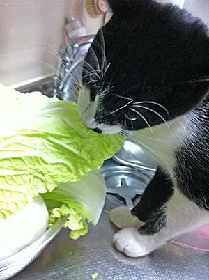 白菜かじるトト