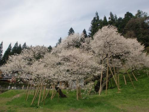 臥龍桜 002