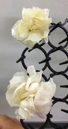 carnation201211s.jpg