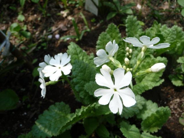 白花サクレソウ