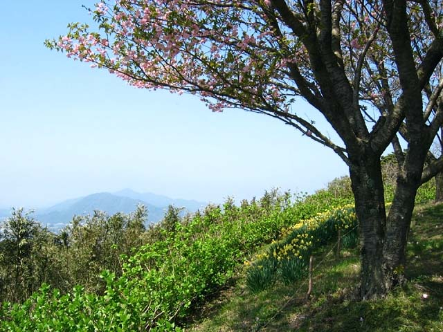 山頂の八重桜(89123 byte)