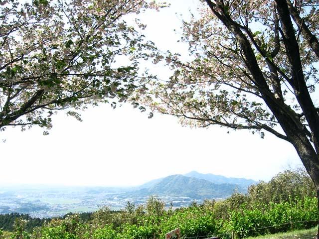 山頂の八重桜(97488 byte)