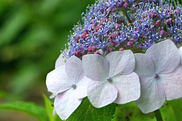 萼(がく)紫陽花(42405 byte)