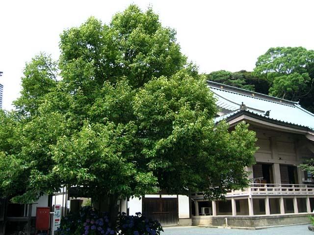 菩提樹(ぼだいじゅ)(83908 byte)