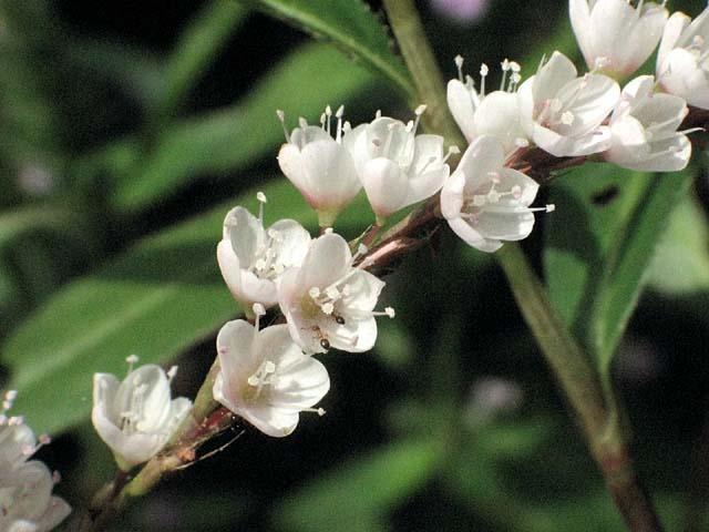 白花桜蓼(しろばなさくらたで)(46187 byte)