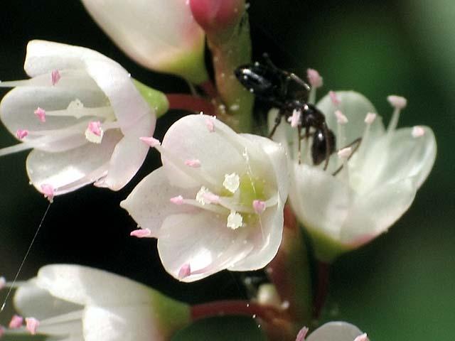白花桜蓼(しろばなさくらたで)(32424 byte)