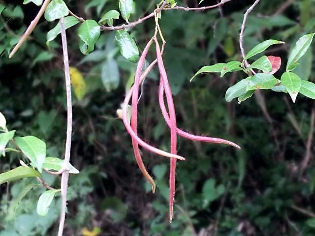 定家葛(ていかかずら)の果実、赤紫色の弓形をした、鞘果2本がぶら下がります(49067 byte)