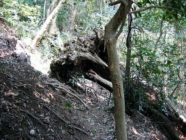 登山道を塞ぐ倒木(126560 byte)