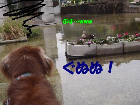 Cコピー ~ A25MAY12 091duck