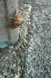 cicada July12