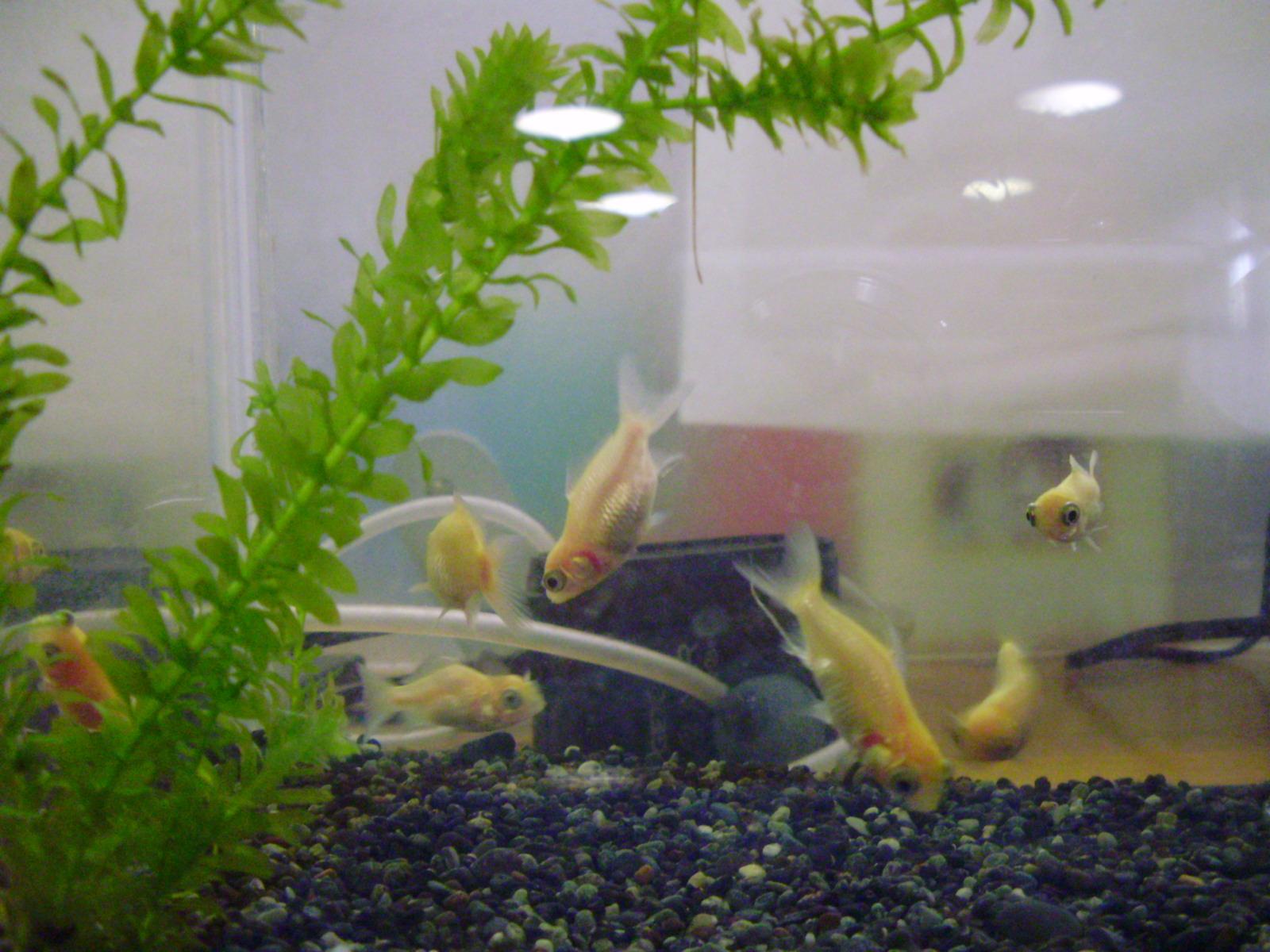 金魚(H24.9.4)
