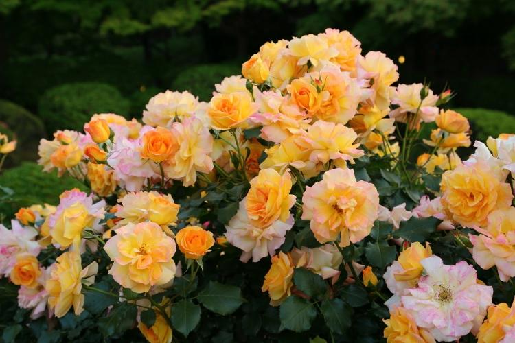 f-rose-n_0005f.jpg