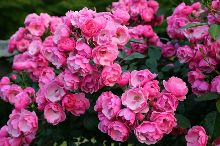 f-rose-n_0006f.jpg