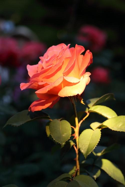 f-rose-n_0007f.jpg