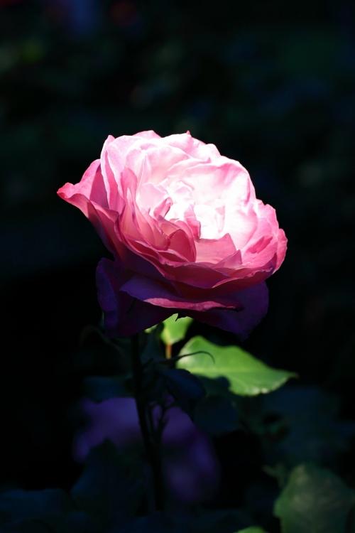 f-rose-n_0012f.jpg