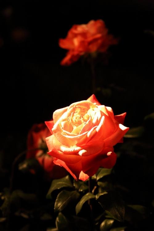 f-rose-n_0018f.jpg