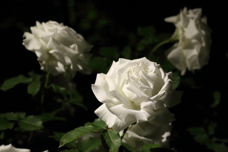 f-rose-n_0019f.jpg