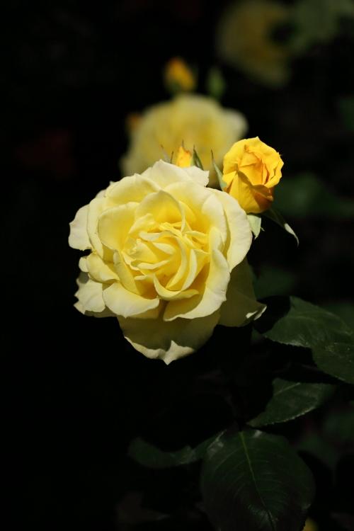 f-rose-n_0021f.jpg