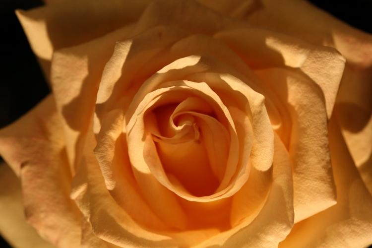 f-rose-n_0022f.jpg