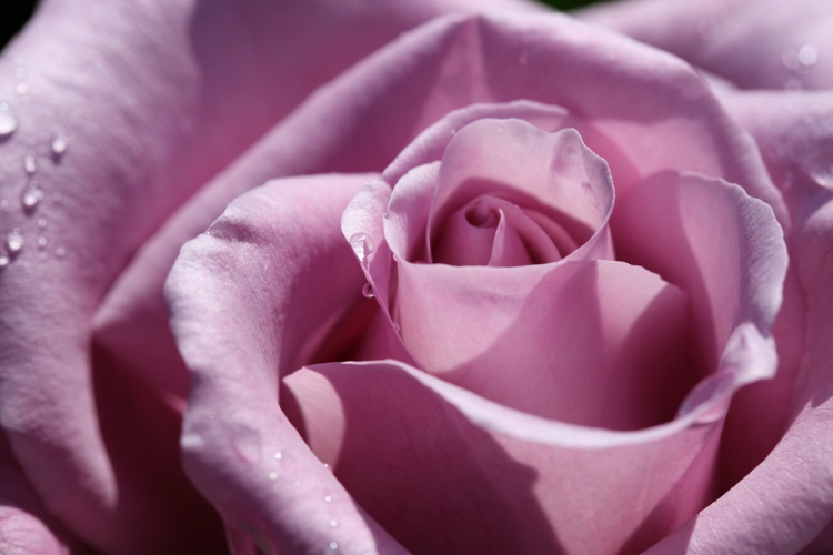 f-rose0512_0007f.jpg