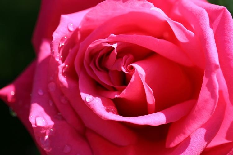 f-rose0512_0009f.jpg