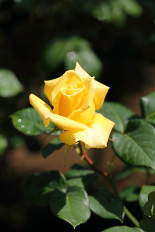f-rose0512_0013f.jpg