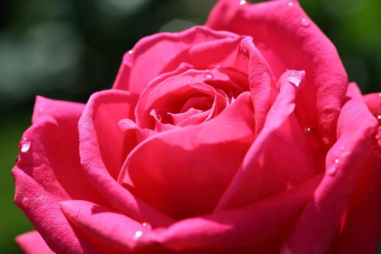 f-rose0512_0014f.jpg
