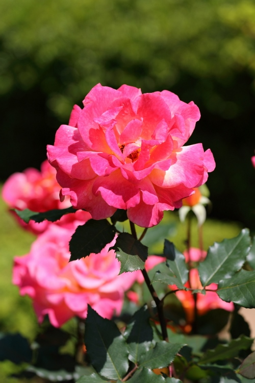 f-rose0512_0016f.jpg