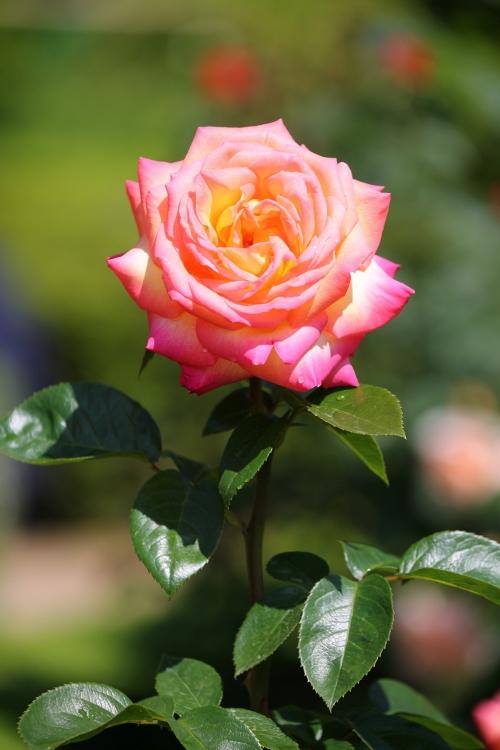 f-rose0512_0020f.jpg