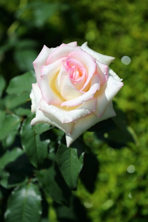 f-rose0512_0021f.jpg