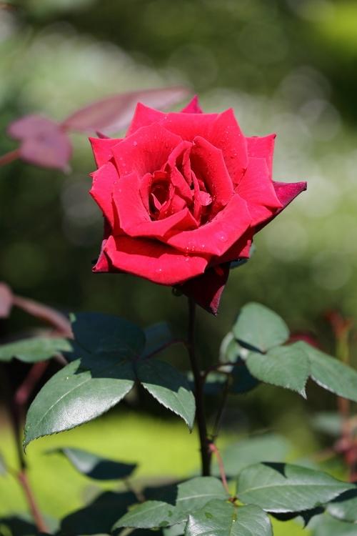 f-rose0512_0022f.jpg