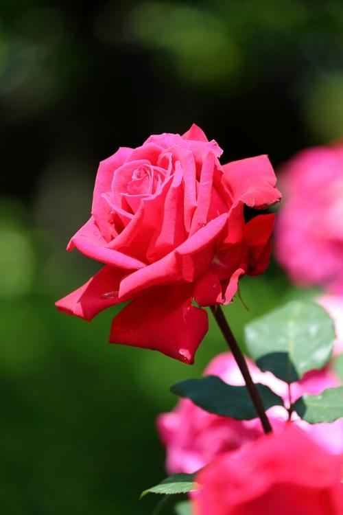 f-rose0512_0023f.jpg