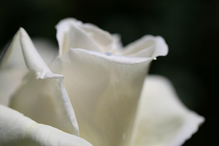 f-rose0512_0032f.jpg